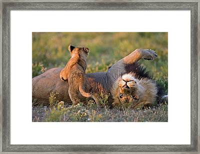 Africa, Botswana, Adult Male Lion Framed Print by Westend61