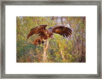 Framed Print featuring the photograph African Vulture by John Rodrigues