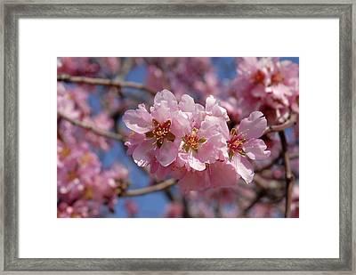 Almond Blossom. Spain Framed Print by Josie Elias