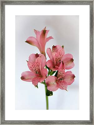 Alstroemeria Up Close Framed Print