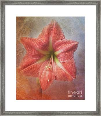 Amaryllis 'terra Cotta Star' Framed Print