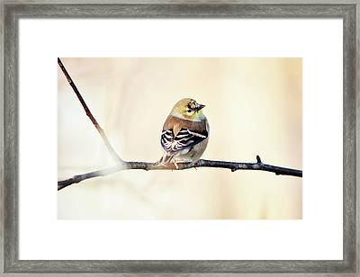 Framed Print featuring the photograph American Goldfinch by Sue Collura