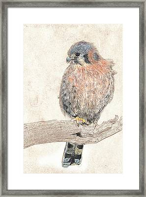Framed Print featuring the photograph American Kestrel - Photographic Drawing by Dawn Currie