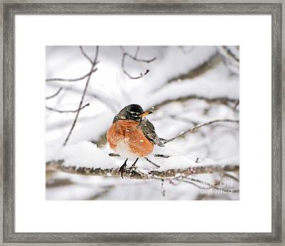 American Robin In The Snow Framed Print