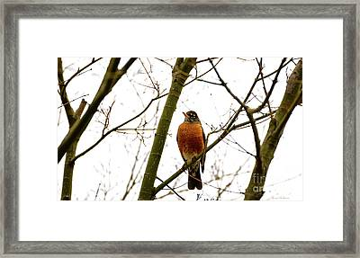 American Robin Perching In A Wintertime Tree Framed Print