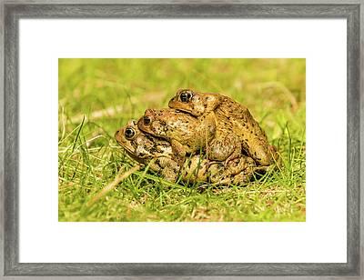 American Toad Western Brooke Pond, Grose M Framed Print