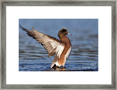 American Wigeon Delight Framed Print