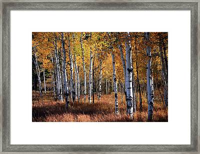 An Aspen Grove In Autumn With Orange Framed Print by Denny35463