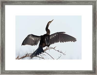 Anhinga Framed Print