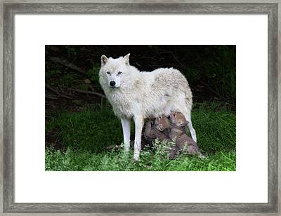 Arctic Wolf Pups Feeding Framed Print by Jim Cumming