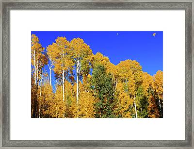 Arizona Aspens And Blowing Leaves Framed Print