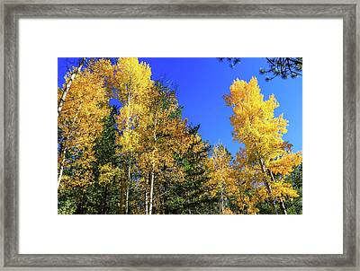 Arizona Aspens In Fall 1 Framed Print