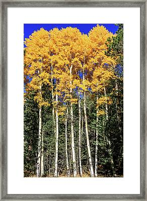 Arizona Aspens In Fall 3 Framed Print