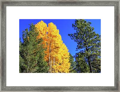 Arizona Aspens In Fall 4 Framed Print