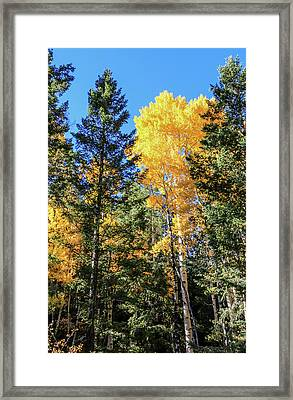 Arizona Aspens In Fall 5 Framed Print