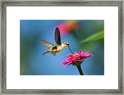 Framed Print featuring the photograph Art Of Hummingbird Flight by Christina Rollo