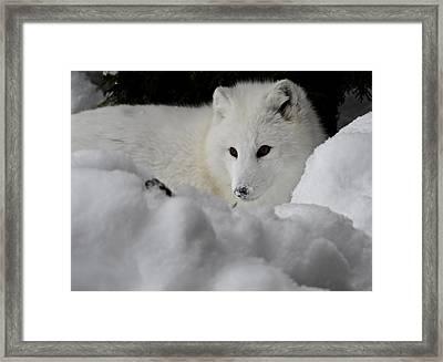 Artic Fox Framed Print