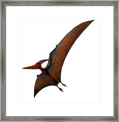 Artwork Of Pteranodon Sternbergi Framed Print by Mark Garlick