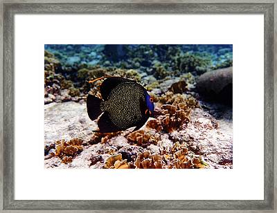 Framed Print featuring the photograph Aruban French Angelfish by Lars Lentz