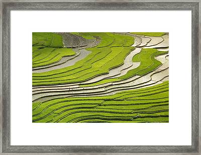 Asian Rice Field Framed Print