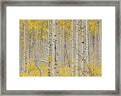 Aspen Forest In Autumn Framed Print by Leland D Howard