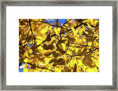 Aspens Up Close Framed Print