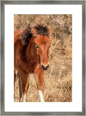 Framed Print featuring the photograph Assateague Island Pony Foal by Kristia Adams
