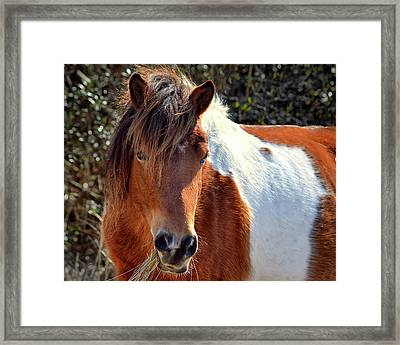Framed Print featuring the photograph Assateague Pinto Mare Ms Macky by Bill Swartwout Fine Art Photography