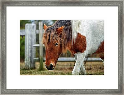 Framed Print featuring the photograph Assateague Wild Horse Susi Sole N2bhs-m by Bill Swartwout Fine Art Photography
