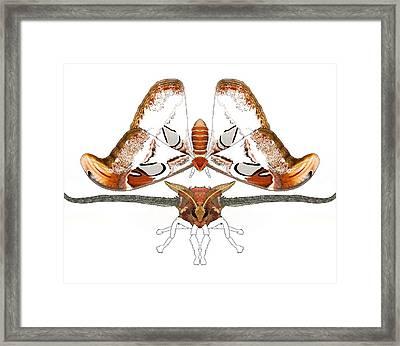 Atlas Moth2 Framed Print