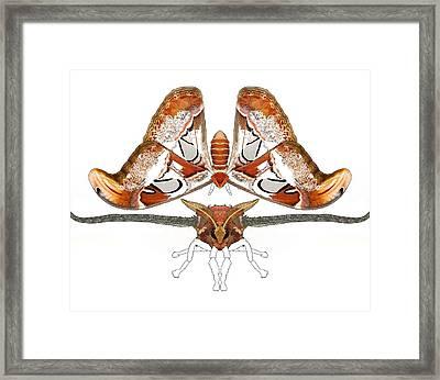 Atlas Moth3 Framed Print