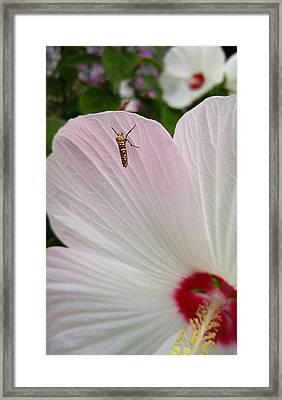 Atteva Aurea 1 Framed Print