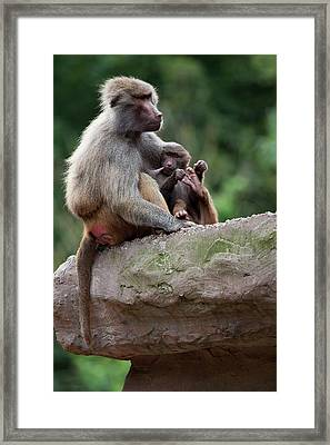 Baboon Framed Print by Andrew Dernie