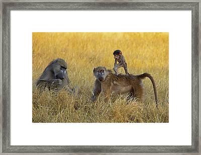 Baboons In Botswana Framed Print