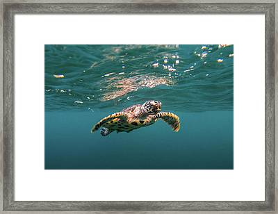 Baby Hawksbill Sea Turtle Swims With Framed Print by Sirachai Arunrugstichai