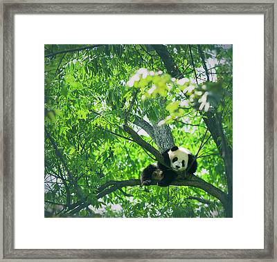 Baby Panda Resting On A Tree Framed Print by Mediaproduction
