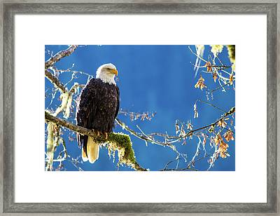 Backlit Bald Eagle In Squamish Framed Print