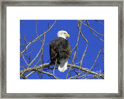 Bald Eagle And Blue Sky Framed Print