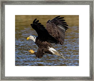 Framed Print featuring the photograph Bald Eagle Fishing On The James River by Lori Coleman