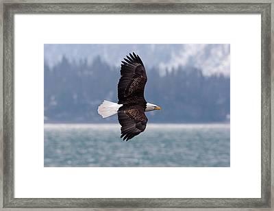 Bald Eagle In Action Framed Print by Mark Miller Photos