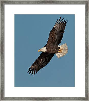 Bald Eagle Framed Print by Straublund Photography