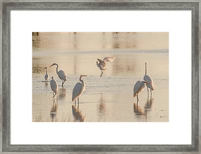 Ballet Of The Egrets Framed Print