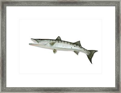 Barracuda With Clipping Path Framed Print by Georgepeters