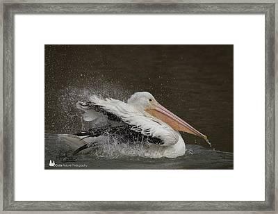 Bathing Pelican Framed Print