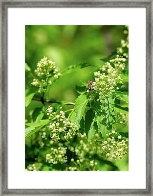 Bee On Amur Maple 1 Framed Print