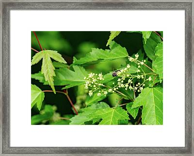 Bee On Amur Maple 2 Framed Print