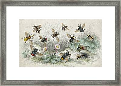 Bees In Colour Framed Print by Hulton Archive