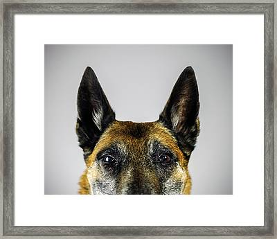 Belgian Sheperd Malinois Dog Looking At Framed Print by Joan Vicent Cantó Roig