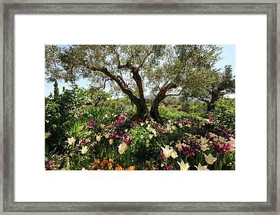 Beneath The Olive Tree, Marnes, Spain Framed Print by Josie Elias