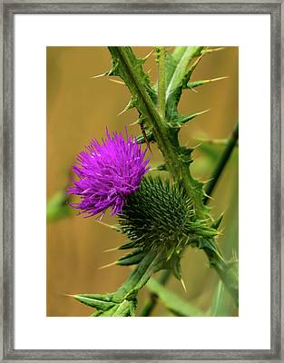 Between The Flower And The Thorn Framed Print